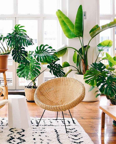 Living room area with lots of greenery and big, leafy plants – including Monstera Deliciosa plants and a Bird of Paradise Tree – a woven wooden chair with tubular metal legs and wooden floor. Interior design blog about how to turn your home into a luscious urban jungle by bringing in house plants and greenery. Written by vintage-etc in Cape Town. We make custom made & bespoke tables, benches, free-standing kitchen islands, desks, media units & wardrobes in our Cape Town & Johannesburg workshops – using Oak, Oregon, Ash, Beech, Birch Ply & Meranti. We also sell imported furniture, provide design consulting services & make soft furnishings e.g. sofas & upholstered chairs in linen, velvet & stain resistant fabric.
