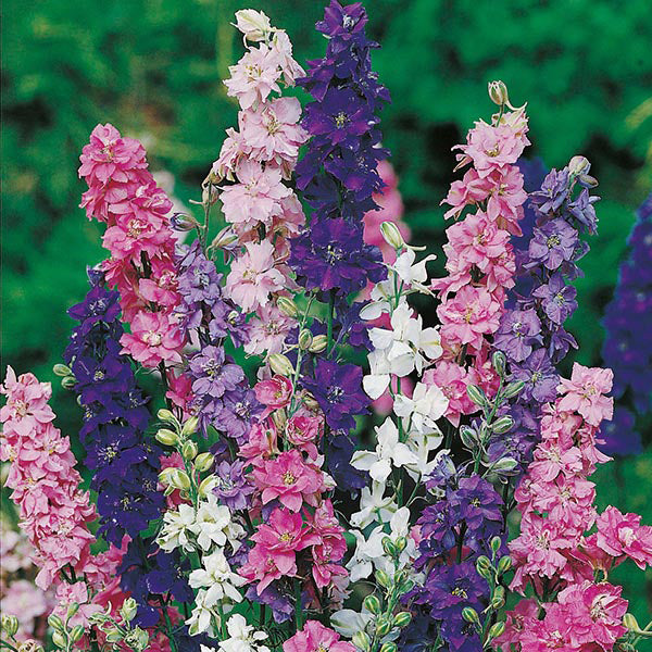 Pepper Agro Larkspur Giant Imperial Mixed Flower seeds 2 Packs - Pepper Agro