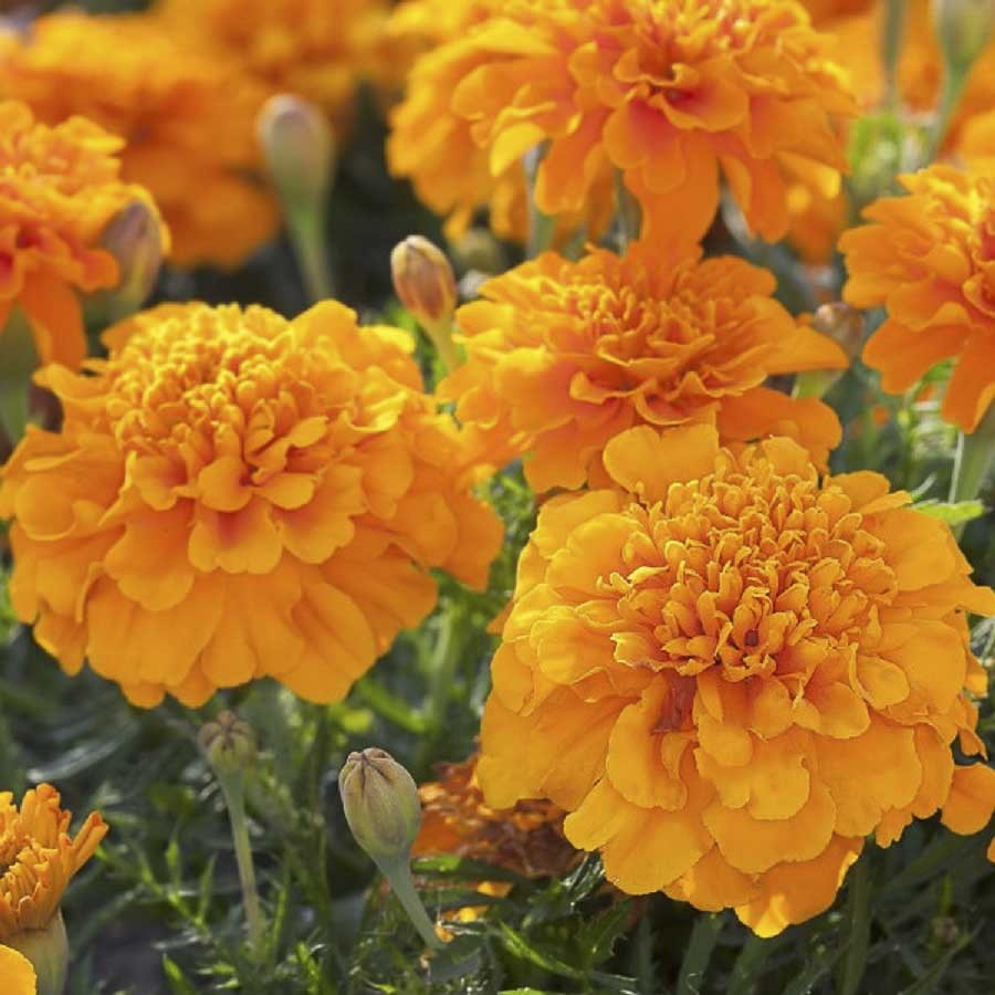 Pepper Agro Marigold (Tegetes Erecta) Gulzafri Orange Flower seeds 2 packs - Pepper Agro