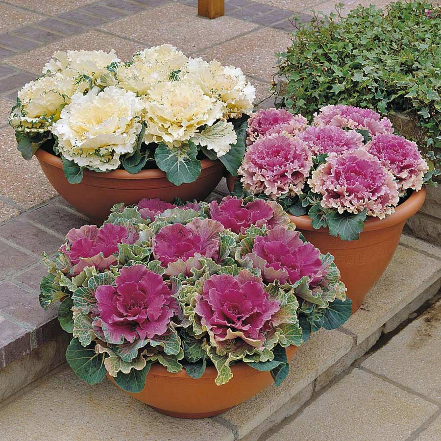 Ornamental Kale Mixed Flower Seeds 1 Pack Comes With Free Pot & Root Plug
