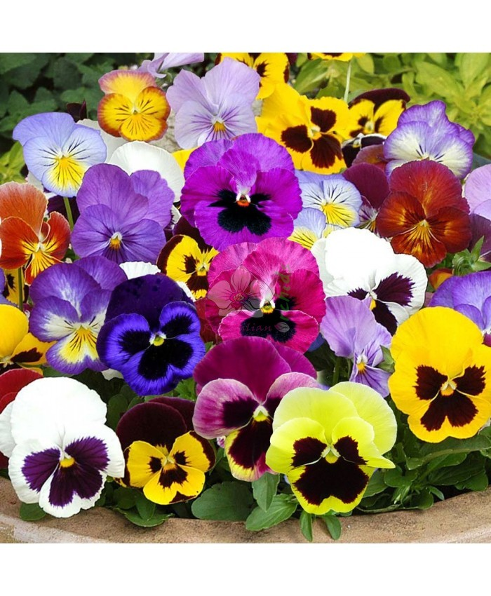 Pepper Agro Pansy Swiss Giant Imperial Mixed Flower seeds 2 packs - Pepper Agro