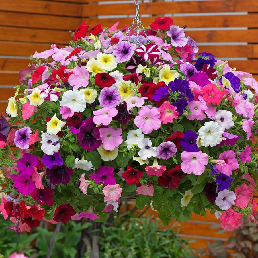 Pepper Agro Petunia Pendula Mixed Flower seeds 2 packs - Pepper Agro