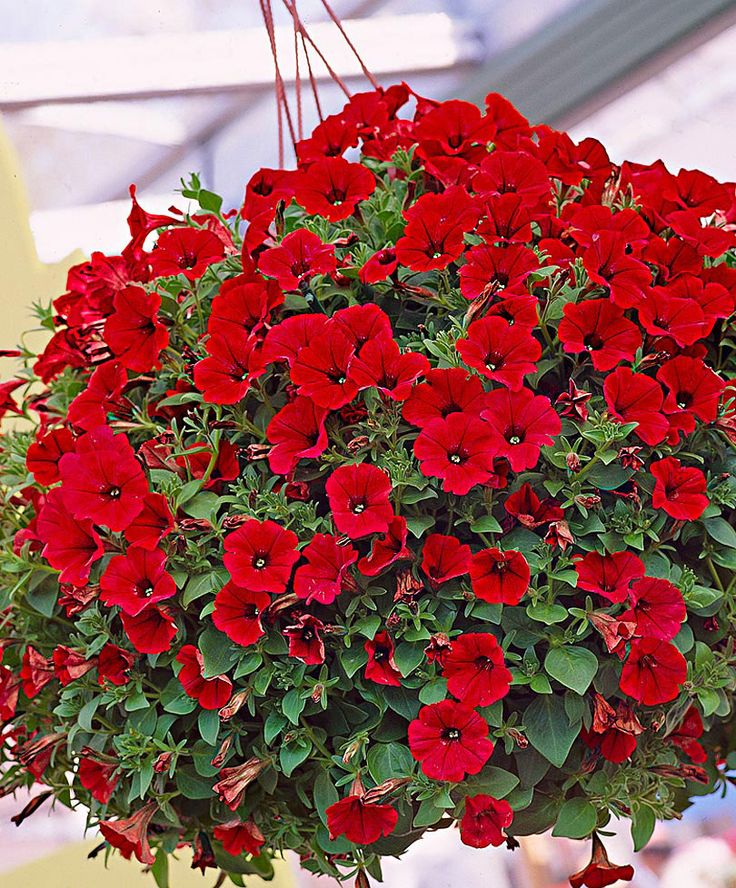 Petunia Scarlet Red Flower Seeds 1 Pack Comes With Free Pot & Root Plug