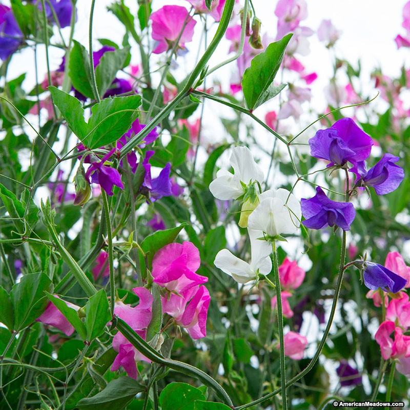 Pepper Agro Sweet pea Rayal Family Mixed Flower seeds 2 packs - Pepper Agro