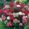 Pepper Agro Sweet William Mixed Flower seeds 2 packs - Pepper Agro