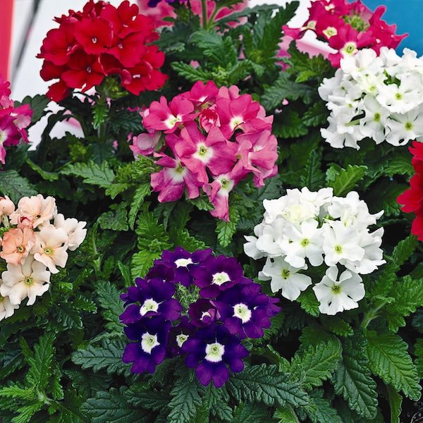 Pepper Agro Verbena hybrida Ideal Florist Mixed Flower seeds 2 packs