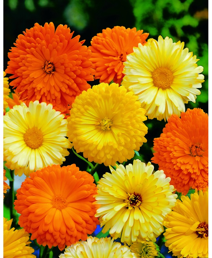 Pepper Agro Calendula Officinalis Gitana fiesta Mixed Flower seeds 2 packs - Pepper Agro