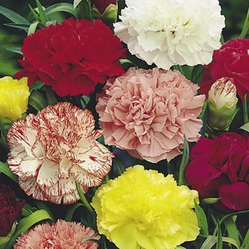 Pepper Agro Carnation Giant Chaubard Double Mixed Flower seeds 2 packs