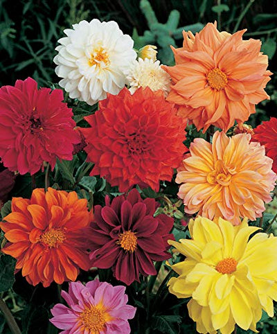 Dahlia Variablis Beauty Mixed Flower Seeds 1 Pack Comes With Free Pot & Root Plug Combo