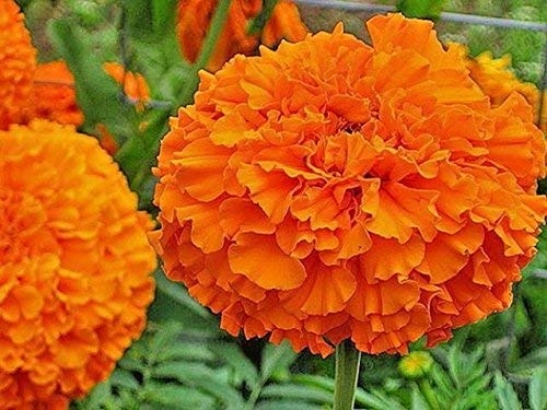 Marigold (Tegetes Erecta) Hawaii Orange Flower Seed 1 Pack Comes With Free Pot & Root Plug