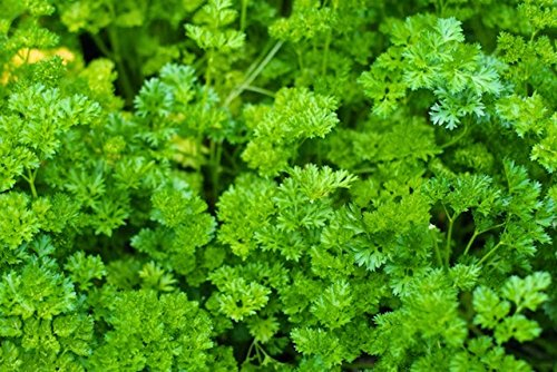 Pepper Agro Parsley Green vegetable seeds 2 packs