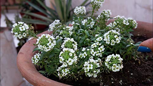 Alyssum Snow White Flower Seeds 1 Packs Comes With Free Pot & Root Plug