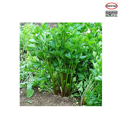 Combo Pack Of Celery Giant Seeds with free Root Plug & 4Inch Pot | Buy Online
