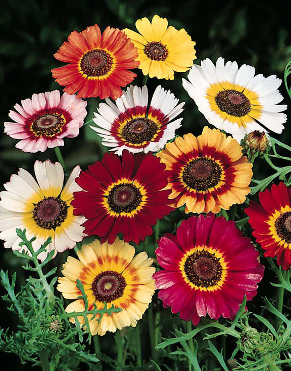 Pepper Agro Chrysenthimum Carinatum Mary Mixed Flower seeds 2 packs - Pepper Agro