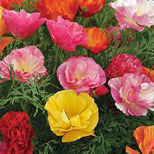 California Poppy Mixed Flower Seeds 1 Pack Comes With Free Pot & Root Plug