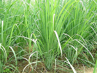 Lemon Grass Herbs Seed 1 Pack Comes With Free Pot & Root Plug | Buy Online