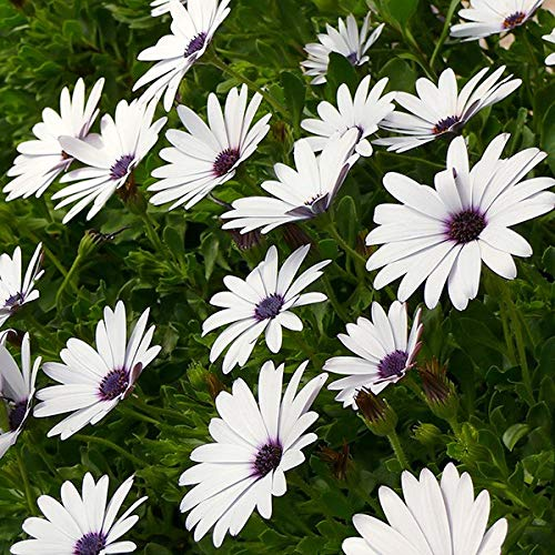 Dimorphothica White King Flower Seeds 1 Pack Comes With Free Pot & Root Plug