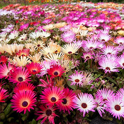 Burf(Mesembryanthemum) Heavens Mixed Flower Seeds 1 Pack Comes With Free Pot & Root Plug