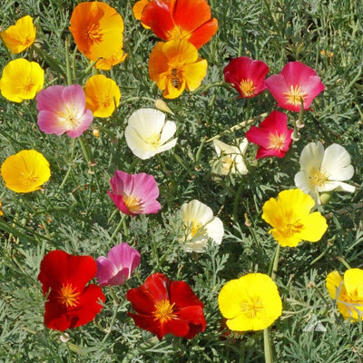 Pepper Agro California Poppy Mixed Flower seeds 2 packs - Pepper Agro