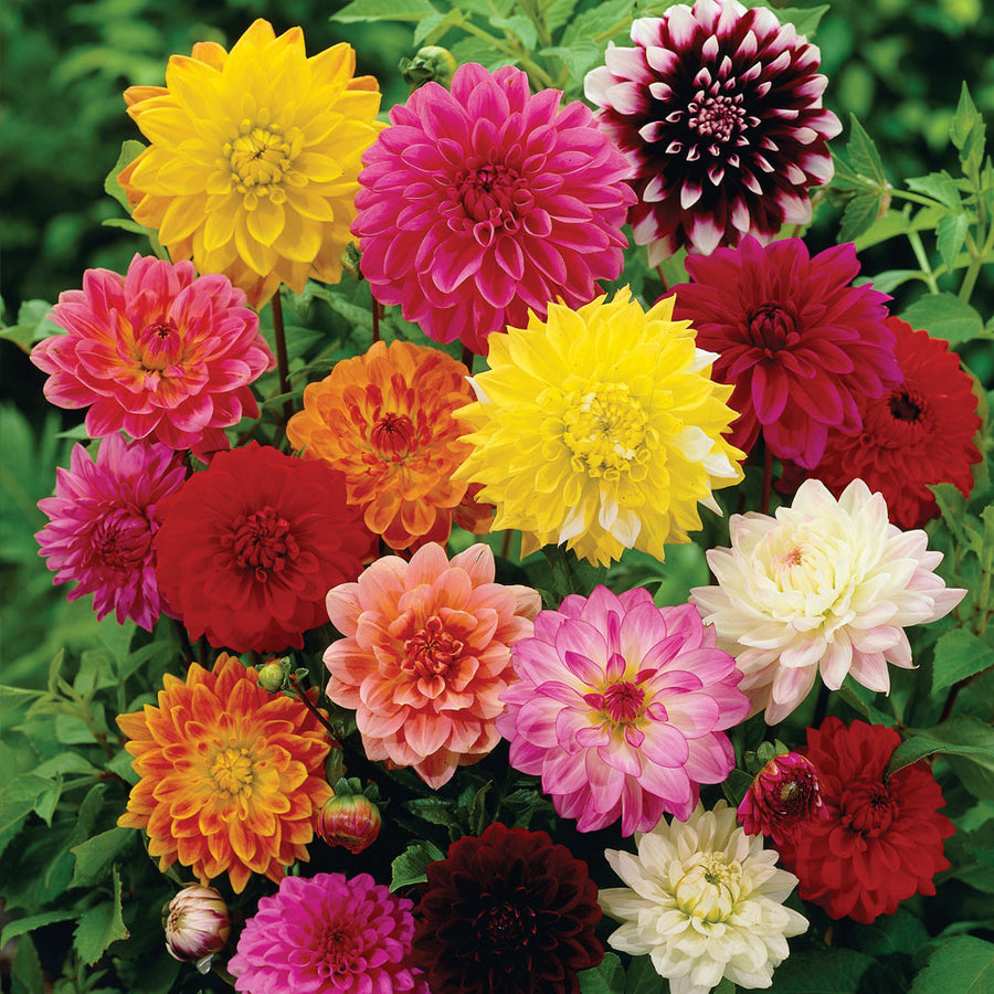 Pepper Agro Dahlia Variablis Beauty Mixed Flower seeds 2 packs - Pepper Agro