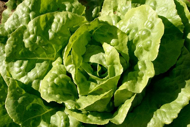 Lettuce Angelina Vegetable Seed 1 Pack Comes With Free Pot & Root Plug Combo