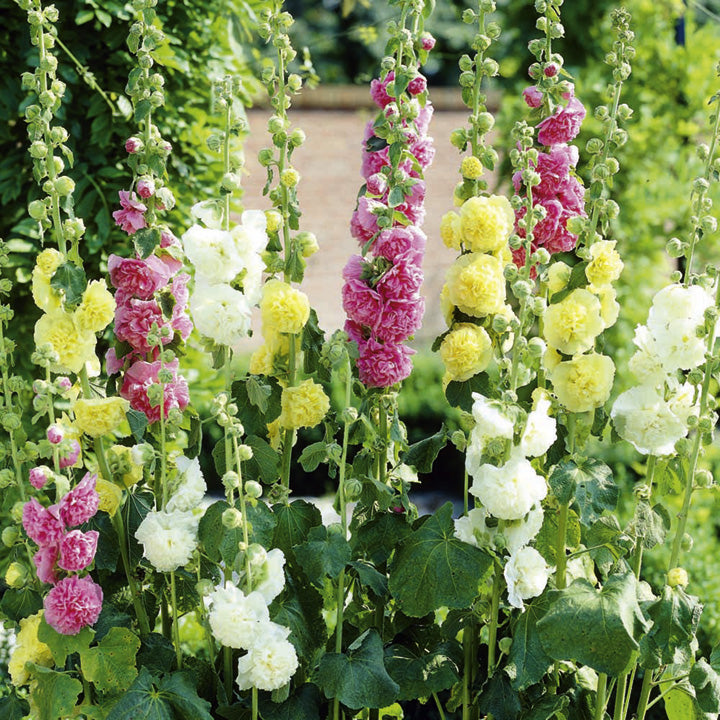 Pepper Agro Hollyhocks Mixed Flower seeds 2 Packs - Pepper Agro