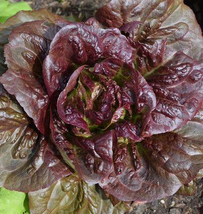 Pepper Agro Lettuce Red Grand Vegetables seeds 2 packs