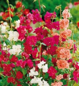 Pepper Agro Clarkia Double Mixed Flower seeds 2 packs - Pepper Agro