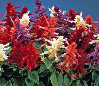 Salvia Vista Mix Flower Seeds 1 Pack Comes With Free Pot & Root Plug | Buy Online