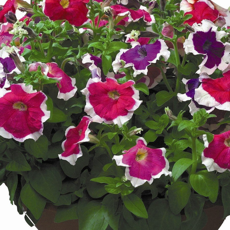 Pepper Agro Petunia Hulahoop Mixed Flower seeds 2 packs