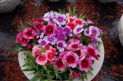 Pepper Agro Dianthus Baby doll mixed flower seeds 2 packs - Pepper Agro