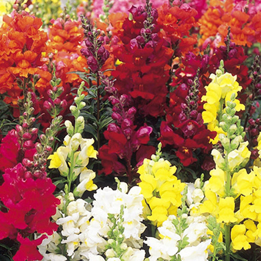 Combo Pack Of Antirrhinum Tom Thum Dwarf Mix Seeds with Root Plug & 4Inch Pot