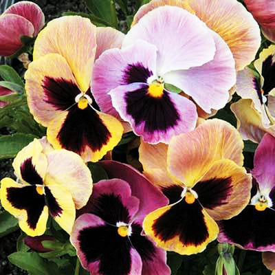Pepper Agro Pansy Super Majestic Giant Mixed Flower seeds 2 packs - Pepper Agro