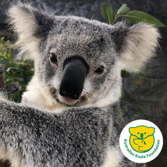 Yanni koala rescued by Australian Koala Foundation