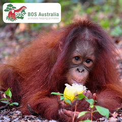 Cinta rescued by Borneo Orangutan Survival