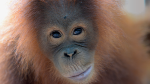 Cinta, the Orangutan from the Borneo Orangutan Survival Foundation - caring for rescued orangutans