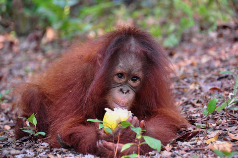 Cinta, Wholly Natural's newly adopted orangutan