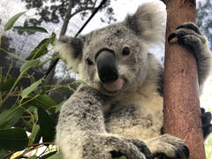 Yanni the koala, rescued by the AKF