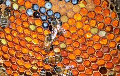 The plight of the honey bee - honey bees in the hive