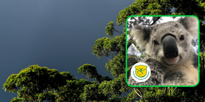 Yanni koala and the AKF logo on a background of gum trees