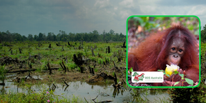 Cinta the orangutan and BOSA logo, Borneo Orangutan Survival Australia