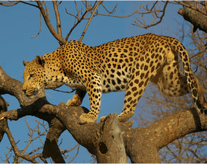 The African leopard on the hunt, watching and waiting. One of Africa's Big Five wildlife, its survival has become of concern for conservationists