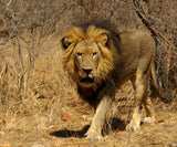 The African Lion stalking; a majestic animal, classified by conservationists as vulnerable