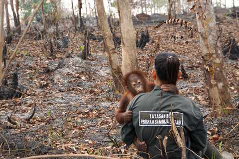 Borneo Orangutan Survival Foundation rescues Orangutans whose natural habitat is under threat