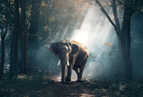 Majestic elephant walking in the jungle