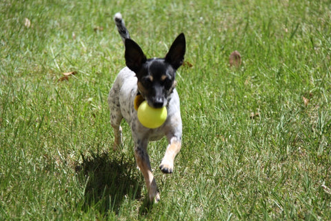 Kipper on the farm playing fetch