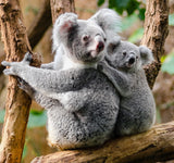 A mother Koala and her cub on a gum tree branch