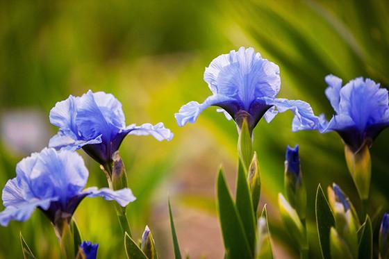 Perfume word of the week: Iris