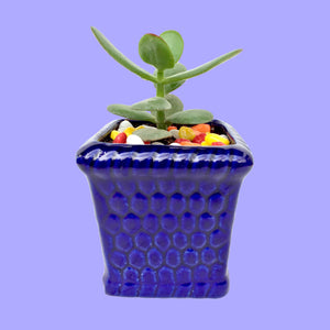 Jade Plant in Glossy Blue Honeycomb Planter