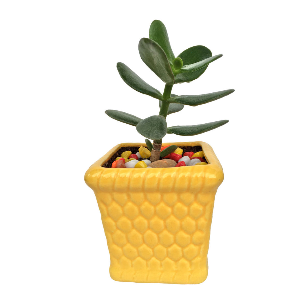 Jade Plant in Glossy Yellow Honeycomb Planter